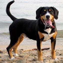 entlebucher sennenhund welpen kaufen schweiz
